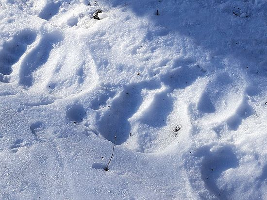 В жестокой расправе над медведем в Якутии подозревают геофизиков - Происшествия