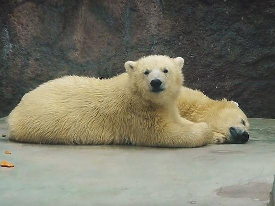 Белых медвежат будут помещать для реабилитации вспециальный вольер