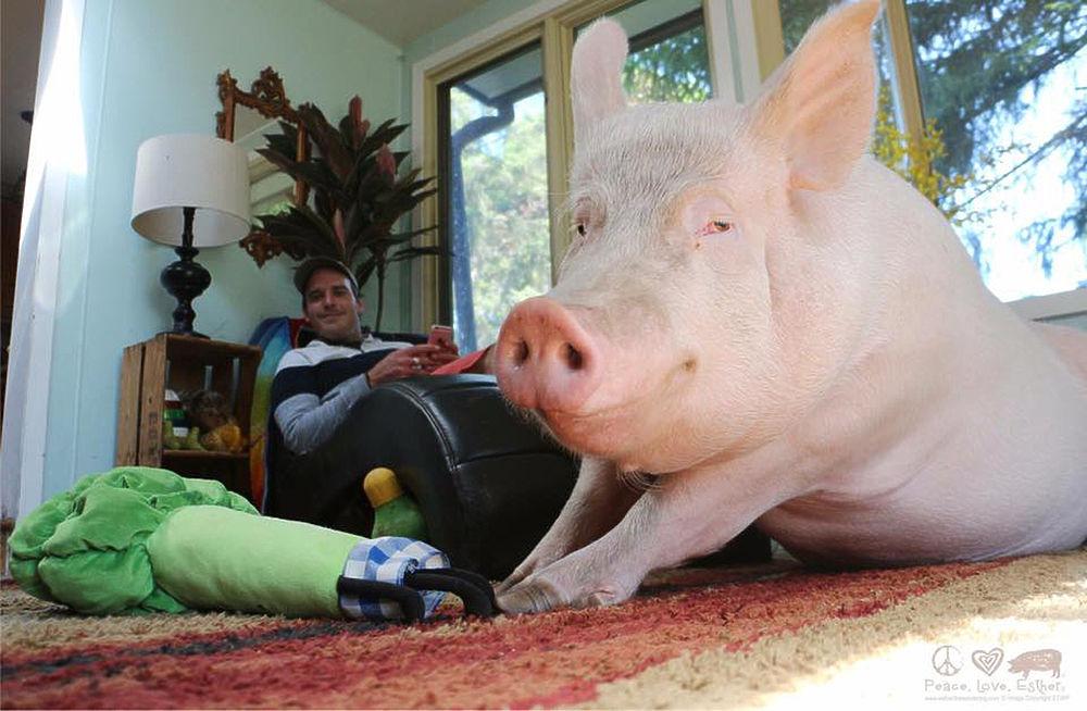 Семья из Канады завела карликовую свинку в надежде умиляться малюткой. Но оказалось, что мошенники-продавцы выдали за мини-пига обычного поросенка. Свинья Эстер за пять лет вымахала до габаритов белого медведя и сейчас весит около 300 кило. Животное жрет сладости килограммами. Пикантности истории добавляет то, что хозяева Эстер - гей-пара. Между прочим, у одной нашей коллеги тоже был мини-пиг. Кончилось печально: тоже вымахав до нешуточных размеров, свинья научилась опрокидывать холодильник, чтобы подчистить выпавшие продукты. Ее пришлось отдать подмосковным фермерам.