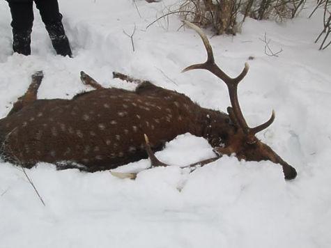 ВШатурском районе полицейские задержали браконьера, убившего уникального оленя
