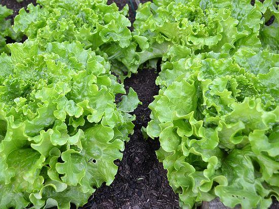 Европа столкнулась с дефицитом овощей: три салата в руки