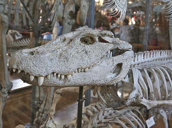 В Китае обнаружены трехтысячелетние останки крокодилов