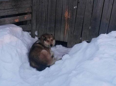 Собаки, загрызшие девочку в Свердловской области, были натасканы на охоту