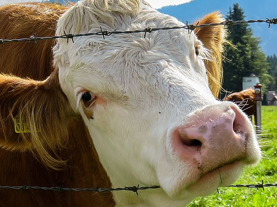 Прокуратура Белоруссии попросила помощи у российских коллег по «говяжьему» делу
