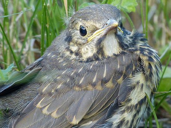 Орнитологи рассказали, что делать, если птенец выпал из гнезда
