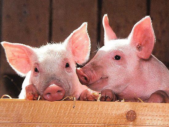 Генетики вывели свиней, неуязвимых для «таинственной болезни»