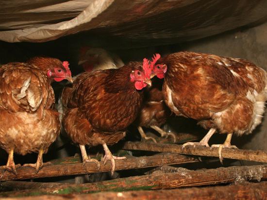 Неменее 11 тыс. куриц пали отгриппа под Сергиевым Посадом