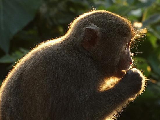 Биологи вырастили невосприимчивых к ВИЧ обезьян