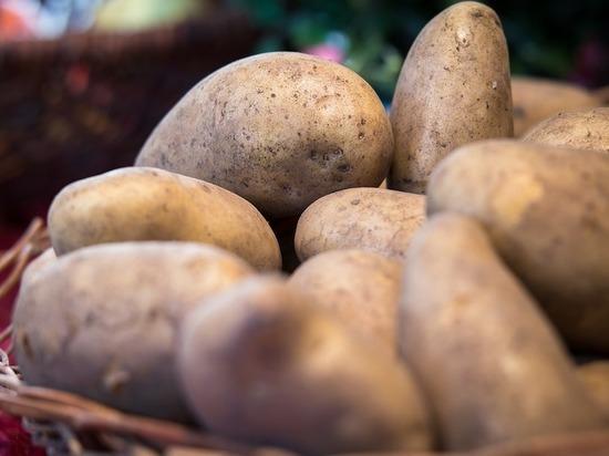 Уникальную картошку, созданную российскими учеными, объявили вне закона