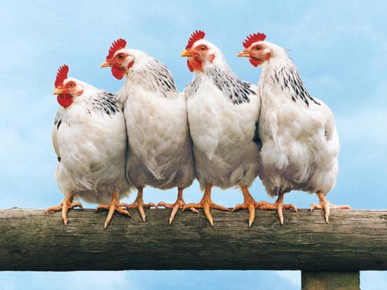 Грозит ли владимирцам птичий грипп?