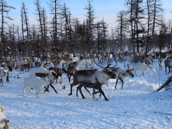 «Отравления не было»: почему на самом деле погибли якутские олени