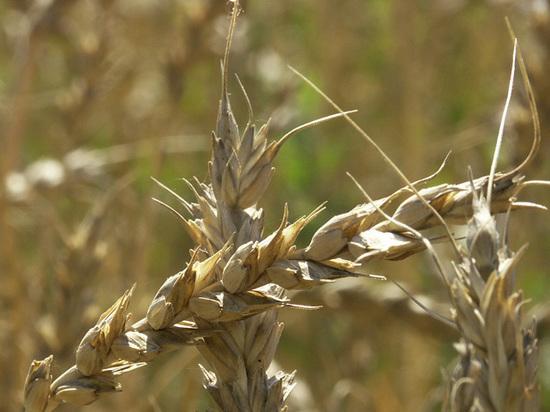 Горе от зерна: чем обернется для России уход с турецкого рынка