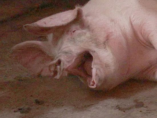 Фермеров будут штрафовать за выброшенные свиные туши