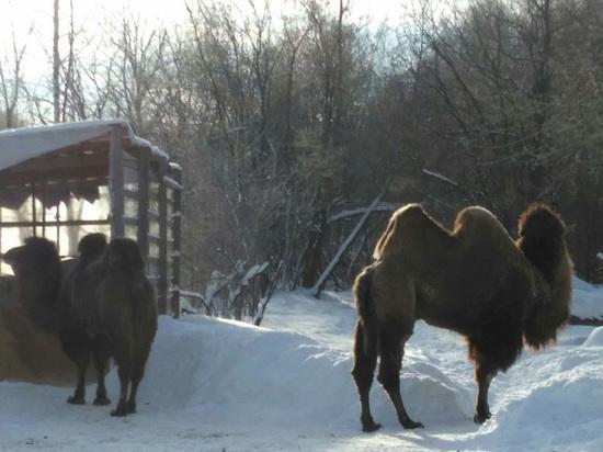 Влесу под Мытищами гуляют верблюды