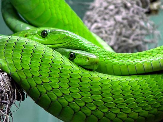 Секс между змеями видео