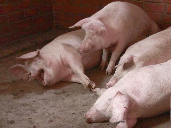 Ткачев оценил потери отафриканской чумы свиней