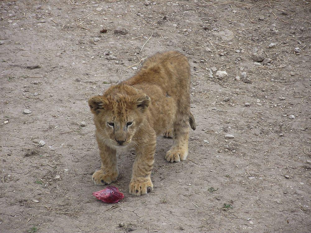 В Крыму выпустили на свободу африканских львов
