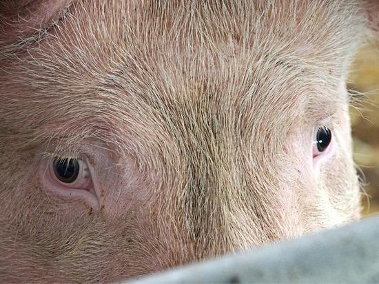 Американская компания вознамерилась выращивать человеческие органы в свиньях