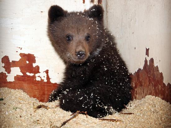 ВРаменском районе cотрудники экстренных служб словили гулявшего поулице медвежонка