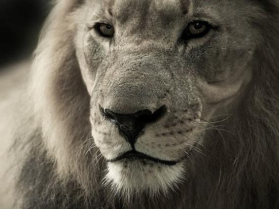 Под Саратовом домашний лев набросился на школьника