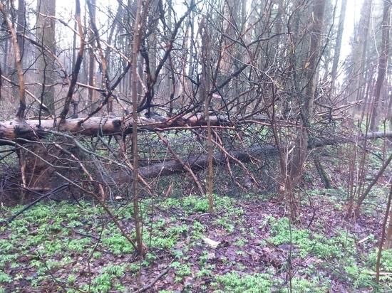Подмосковье спасет деревья топором