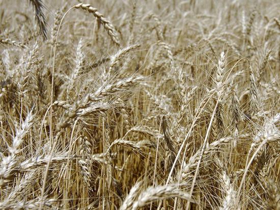 Турция отменила ограничения нароссийскую пшеницу