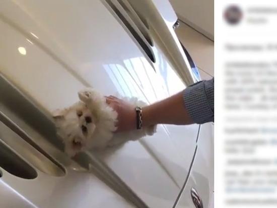 Мажорка возмутила соцсети видеороликом полировки Maserati с помощью щенка