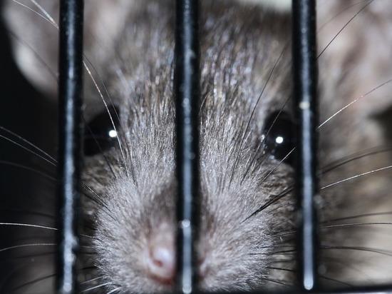 Поулицам Львова бегают самые большие крысы