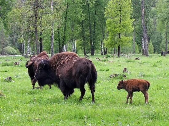 Самочка родилась в семье бизонов в подмосковном зубровнике