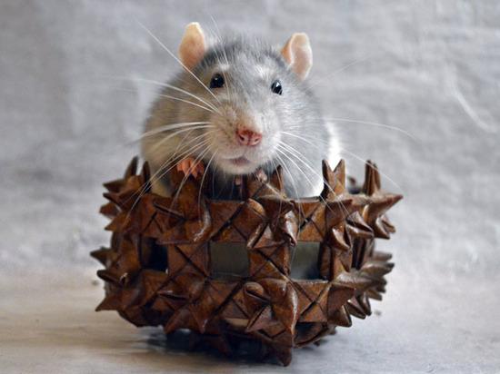Ученые нашли практическое применение крысиным способностям