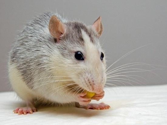 Новосибирские ученые впервые в мире вывели крыс-шизофреников