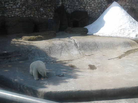 Московская медведица Ника предсказала победу Германии в Кубке конфедераций