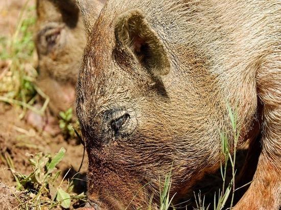 Скормившие одинокого фермера свиньям сообщники предстанут перед судом