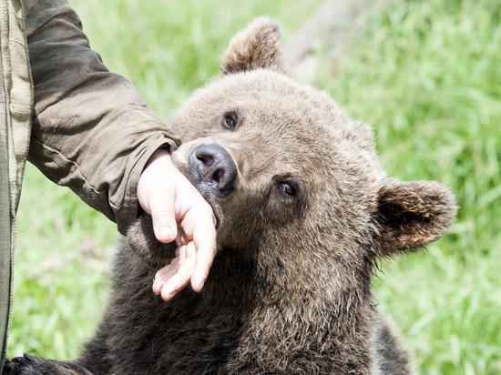 Спасенный медведь стал символом аэродрома в Тверской области