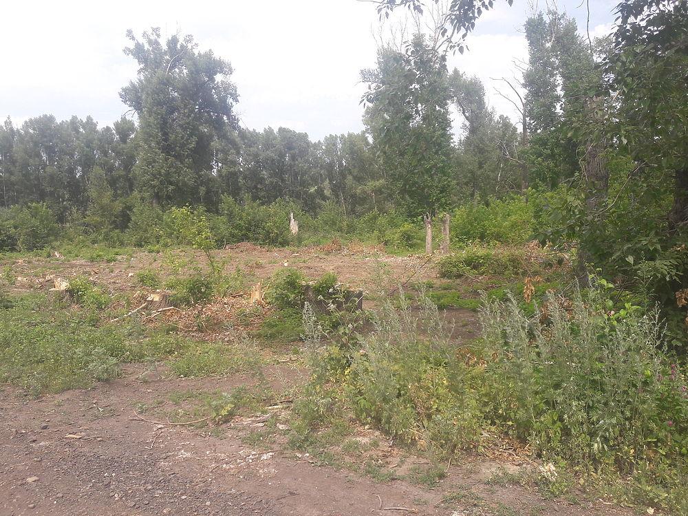 Лесной беспредел: В Кувандыке вырубили  тополиную рощу
