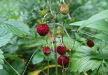 Подмосковные грибы и ягоды макушки лета: земляника еще не сошла