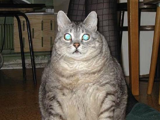 Кошки рекордов Гиннеса: самая толстенькая нашлась на Урале