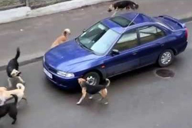 """Бродячие собаки начали """"калечить"""" припаркованные машины"""