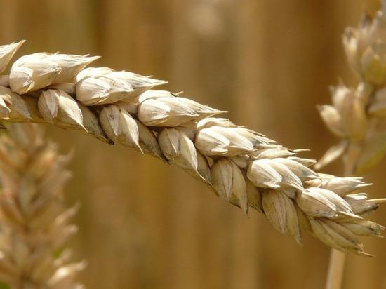 Парадоксы большого урожая: аграрии беднеют, хлеб дешевеет