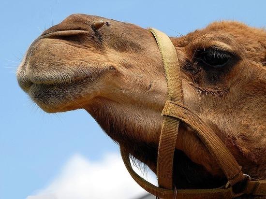 В Атырауской области верблюды мрут из-за инфекции