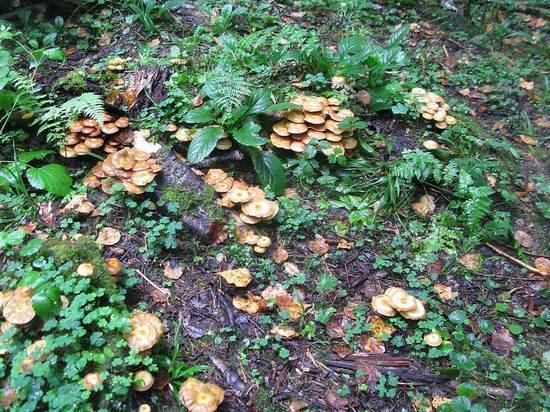 В Подмосковье появились редкие грибы-бараны