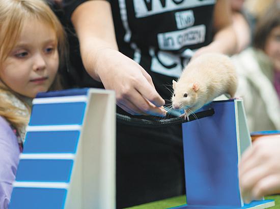 Как научить домашнюю крысу простым трюкам
