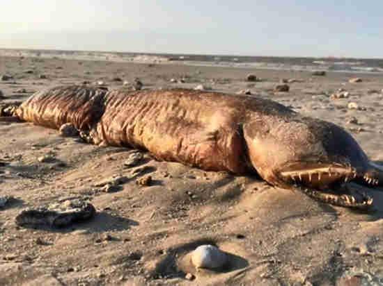 Российские ученые опознали чудище, выброшенное ураганом на техасский берег