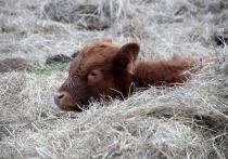 Чудесное спасение: теленка пришлось вытаскивать из ямы с экскрементами трактором
