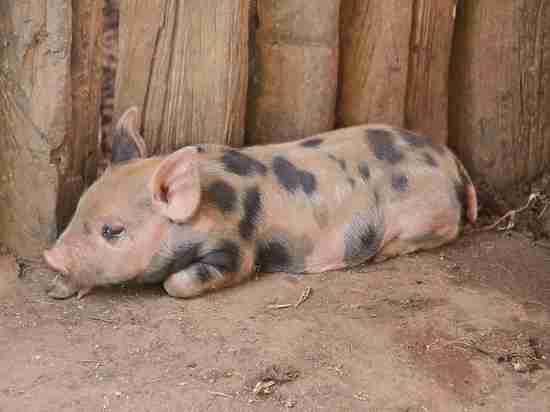 Министр Ткачев поднял рейтинг Путина в США вопросом о свинине