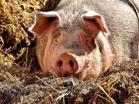 Свиньи исубпродукты: РФ расширила список продовольственного эмбарго