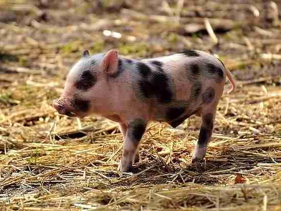 Россия выгонит европейских свиней: как изменятся цены в магазинах