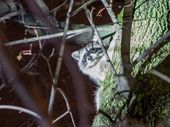 В подвале московской многоэтажки свил гнездо енот