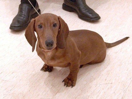 Возвращение блудного Макса:  пропавший в аэропорту Шереметьево пес найден