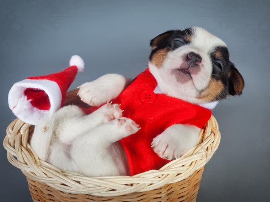 Подарить собаку в год Собаки: как выбрать щенка